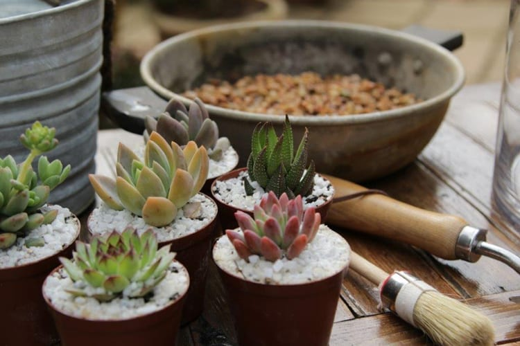 Succulents for Any Occasion – A Stunning Centrepiece